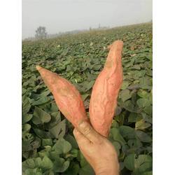 烟薯25,禾田薯业,烟薯25淘宝供货图片