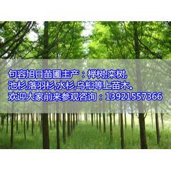 23公分香樟树-旭日苗圃场(在线咨询)香樟树图片