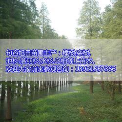 水杉-阜新水杉-旭日苗圃場圖片