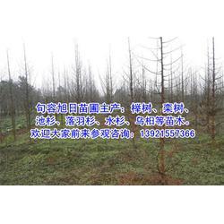池杉求购、池杉、句容旭日榉树图片