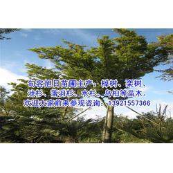 大规格榉树-旭日苗圃-铁岭榉树图片