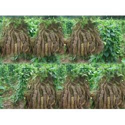 何首乌苗带块茎-凯欣中药材种植-湖北何首乌图片