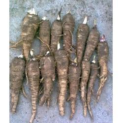 销售白芷种子|安徽白芷|凯欣中药材收购电话图片