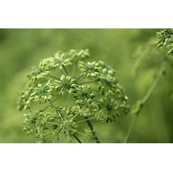 白芷种子-皖丰中药材种植培训-池州白芷图片