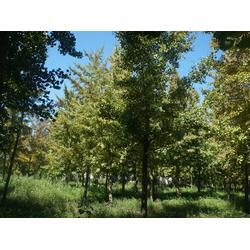 绿都园林(图)、25cm银杏树、北京银杏树图片