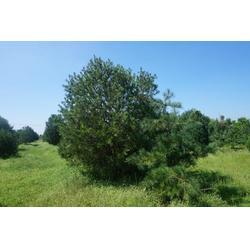 白皮松多少钱、绿都园林(在线咨询)、辽宁白皮松图片