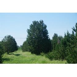 四米白皮松 河北白皮松 绿都园林建设(查看)图片