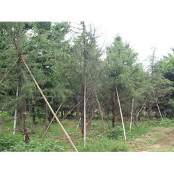 雪松树苗,绿都园林,山西雪松树苗图片