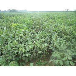 洛林苗圃 优质核桃树苗求购-甘肃优质核桃树苗图片