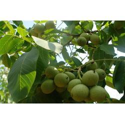 洛林苗圃 三门峡清香核桃树苗求购 驻马店清香核桃树苗图片