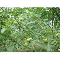嫁接核桃树苗品种-嫁接核桃树苗-洛林苗圃(查看)图片