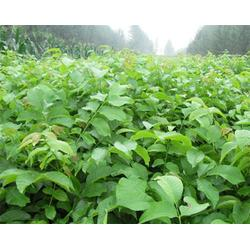 8518核桃苗木多少钱,内江8518核桃苗木,洛林苗圃图片