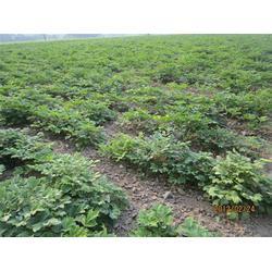 洛林苗圃 新乡牡丹苗多少钱-牡丹苗图片