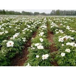平顶山牡丹苗种植-洛林苗圃(在线咨询)牡丹苗图片