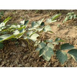 三门峡牡丹苗培育基地,焦作牡丹苗,洛林苗圃(查看)图片
