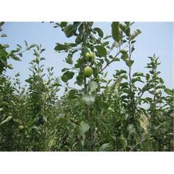 苹果苗基地,苹果苗,洛林苗圃(查看)图片