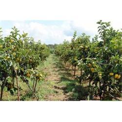 河南柿子苗哪里有卖,鹤壁柿子苗,洛林苗圃(查看)图片