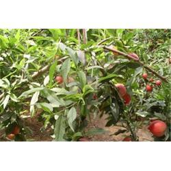 洛阳桃苗多少钱|洛阳桃苗|洛林苗圃(查看)图片