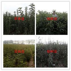 洛林苗圃、三门峡果树苗培育、洛阳果树苗图片