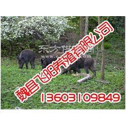 野猪养殖,野猪养殖,飞阳野猪养殖图片