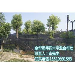 香樟容器苗,旭伟花木(在线咨询),湖北容器苗图片