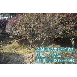 红继木球哪里买-旭伟花木品质优良-上海红继木球图片