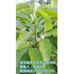 湖南白兰花 旭伟花木品质优良 种植白兰花
