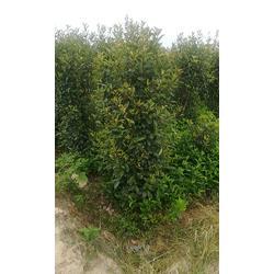 紅葉石楠價-旭偉花木品質優良-江西紅葉石楠圖片