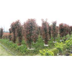 红叶石楠小苗欢迎来电图片