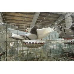 开封种鸽、山东中鹏农牧、种鸽养殖场图片