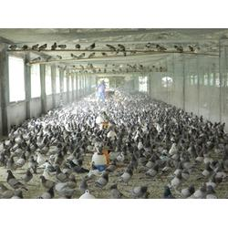 肉鸽养殖技术_肉鸽_山东中鹏农牧图片