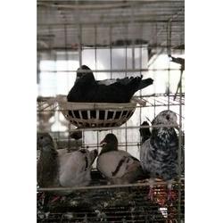 肉鸽价钱、江苏肉鸽、山东中鹏农牧(查看)图片