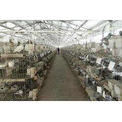 山东中鹏农牧_山东种鸽_种鸽养殖场图片
