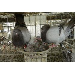 贵阳肉鸽-山东中鹏农牧(在线咨询)肉鸽供应图片