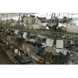 山东中鹏农牧(图)、种鸽多少钱、三亚种鸽图片