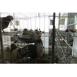 种鸽、山东中鹏农牧(在线咨询)、一对种鸽多少钱图片