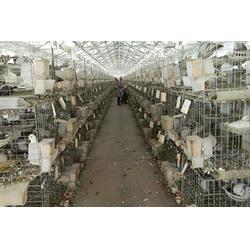 山东中鹏农牧(多图) 种鸽养殖基地 河南种鸽图片