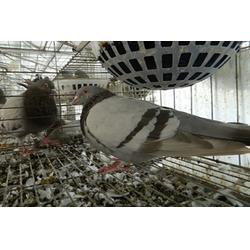 山东中鹏农牧(图)_种鸽养殖基地_种鸽图片