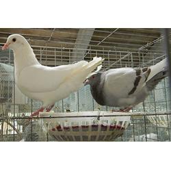 如何挑选种鸽,果洛种鸽,山东中鹏农牧图片
