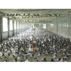 河北商品鸽|山东中鹏农牧|商品鸽种类图片