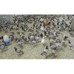 肉鸽,西宁市肉鸽,山东中鹏农牧(查看)图片