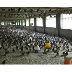 山东中鹏农牧(多图)青年鸽-开封青年鸽图片