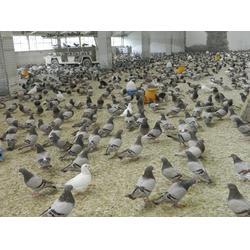 山东中鹏农牧 四川青年鸽 哪里有卖青年鸽图片