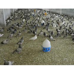 河南商品鸽,山东中鹏农牧(在线咨询),商品鸽价钱图片