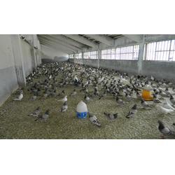 吐鲁番青年鸽-山东中鹏农牧-青年鸽哪家好图片