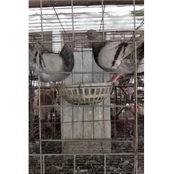 山西鸽子养殖技术|山东中鹏农牧(优质商家)|肉鸽子养殖技术图片