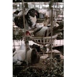 肉鸽价钱_黑龙江肉鸽_山东中鹏农牧(图)图片