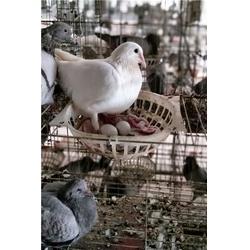 娄底肉鸽_山东中鹏农牧_肉鸽图片