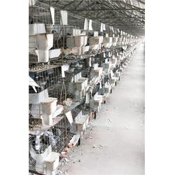 吉林肉鸽、肉鸽种类、山东中鹏农牧图片