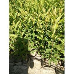 山西苗木哪里便宜,太谷县,太谷苗木图片
